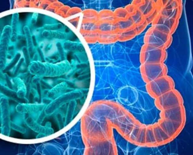 El intestino. Centro de sistema inmunologico